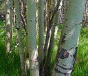 Land Trust Gives Aspens a Chance