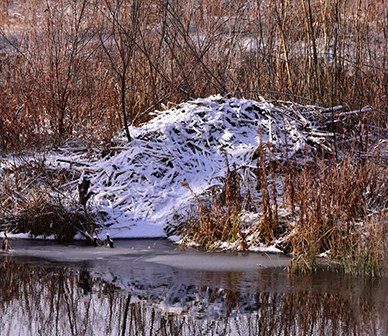 Beavers Remain Busy at Camp Polk Meadow Preserve