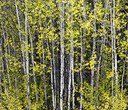 Protecting Aspens at Indian Ford Meadow Preserve