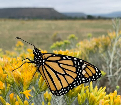 Land Trust partners with Western Monarch Advocates to boost monarch butterfly habitat in Oregon