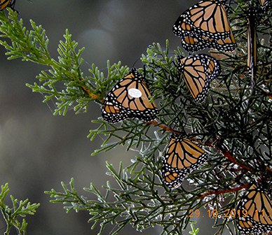 Bend butterfly completes epic journey