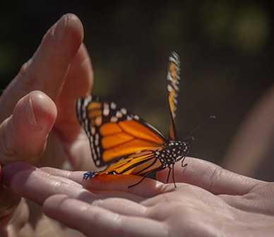 Wanna Save the Monarch Butterfly? Plant Some Milkweed.