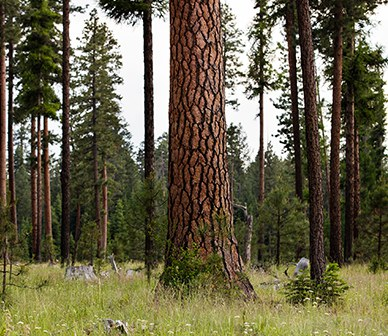 Some ponderosa forests may not regrow after fires, study says